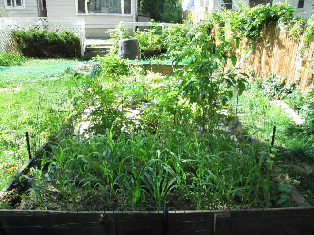 Garden View:  Corn in the front; Tomatoes in the middle.